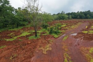 Plantation At Sangod